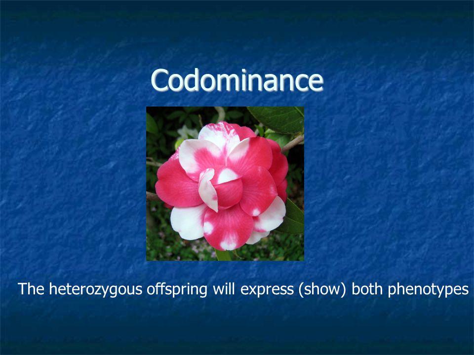 Codominance The heterozygous offspring will express (show) both phenotypes
