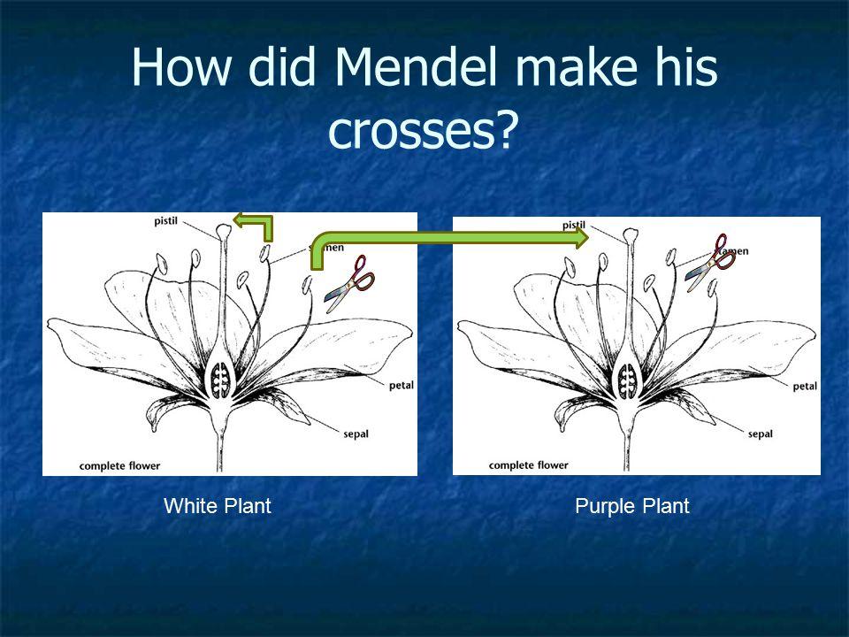 How did Mendel make his crosses