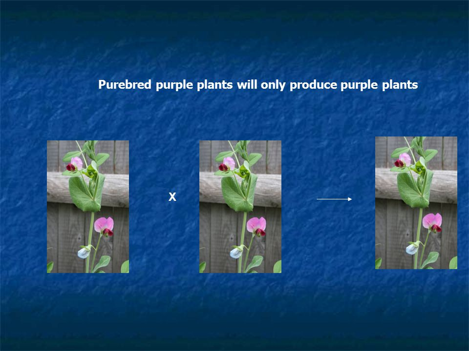 Purebred purple plants will only produce purple plants