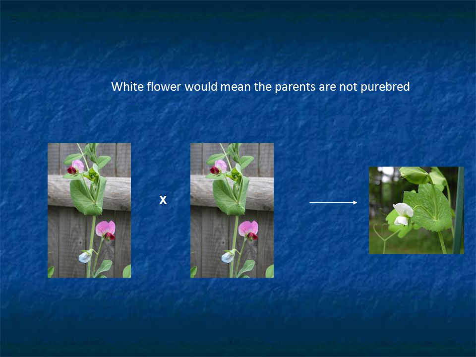 White flower would mean the parents are not purebred