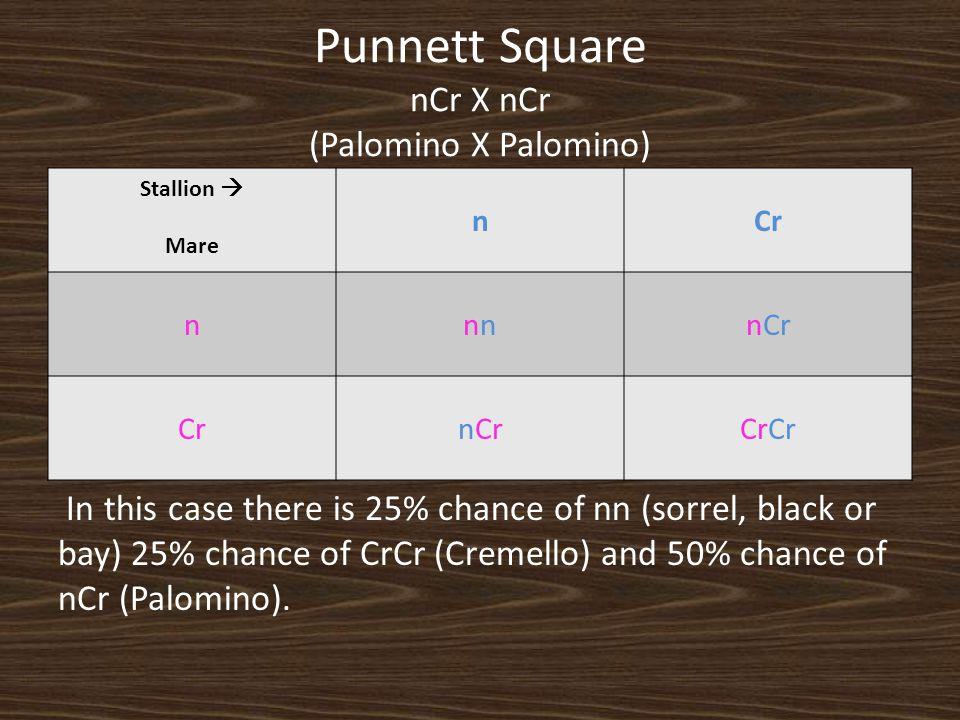 Punnett Square nCr X nCr (Palomino X Palomino)