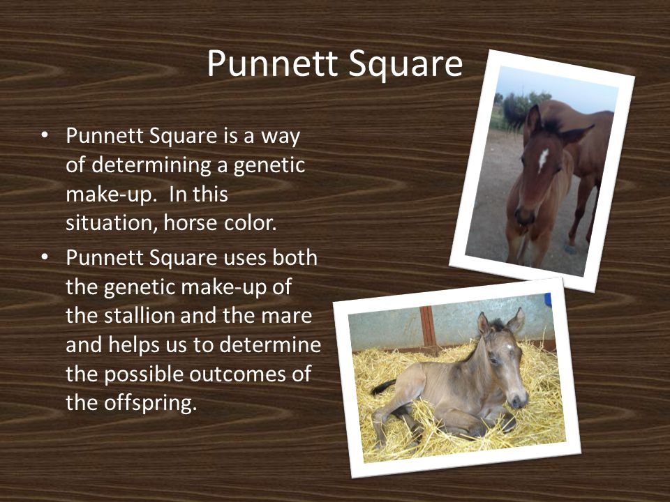 Punnett Square Punnett Square is a way of determining a genetic make-up. In this situation, horse color.