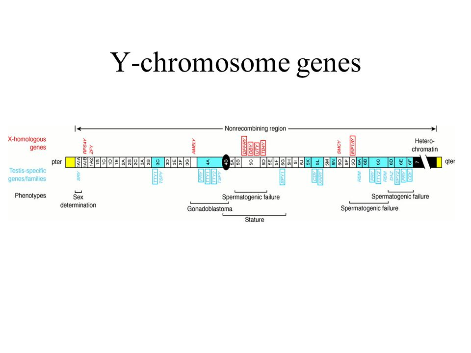 Y-chromosome genes Red---genes with X-homologs