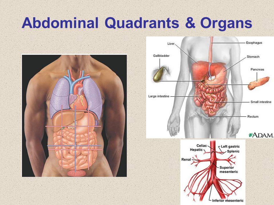 Abdominal Quadrants & Organs