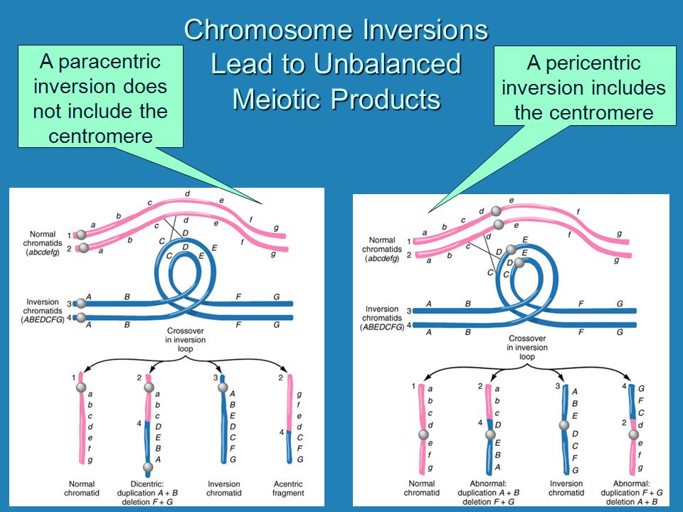 Chromosome Inversions Lead to Unbalanced Meiotic Products