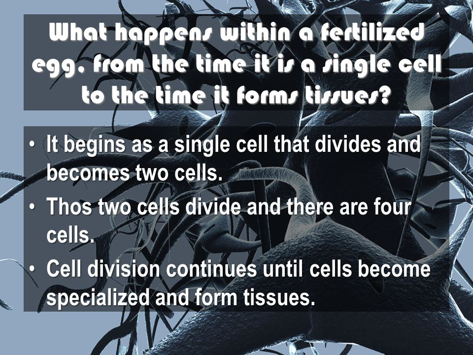 What happens within a fertilized egg, from the time it is a single cell to the time it forms tissues