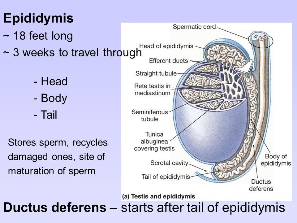 Ductus deferens – starts after tail of epididymis