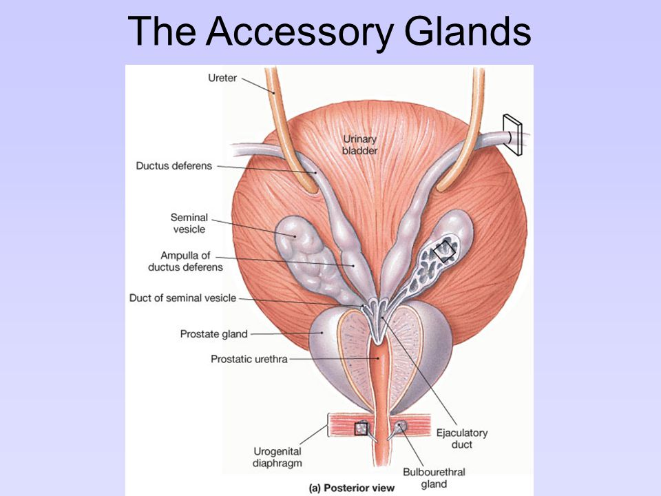 The Accessory Glands