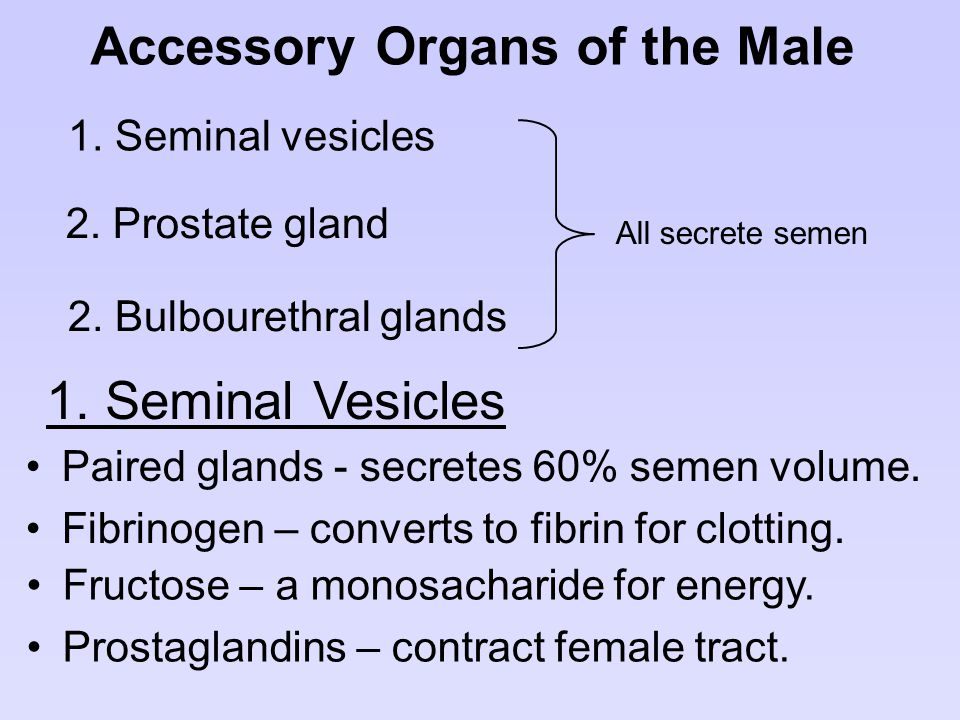 Accessory Organs of the Male
