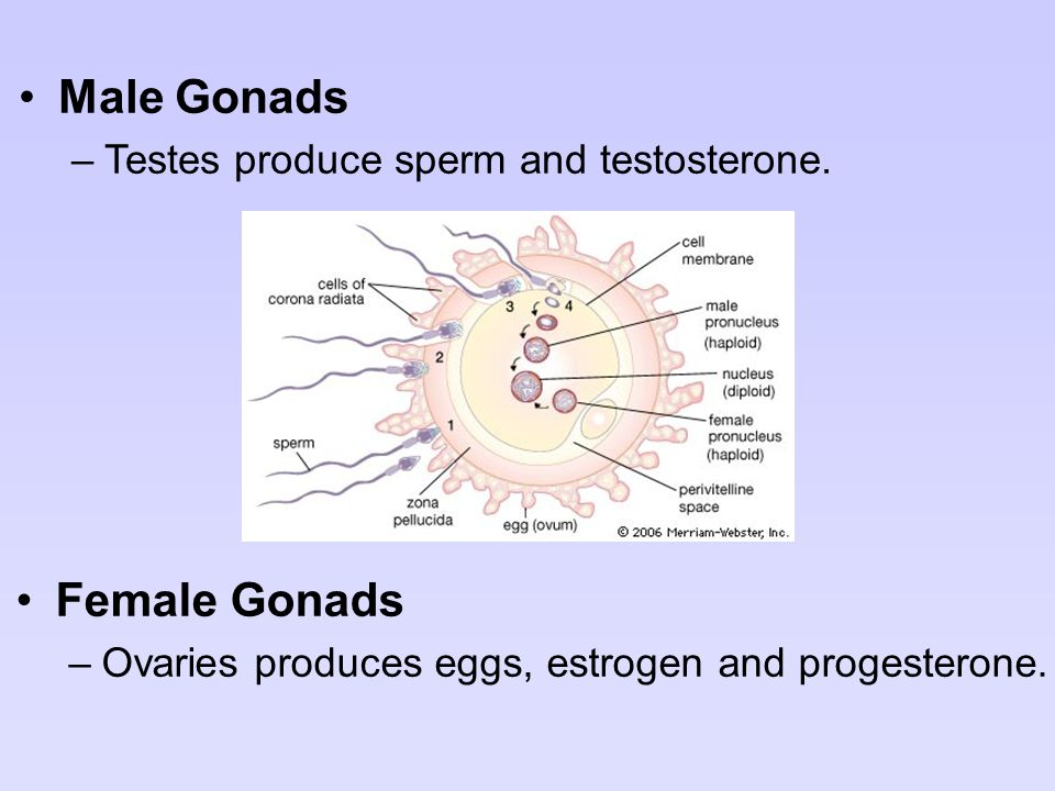 Male Gonads Female Gonads Testes produce sperm and testosterone.