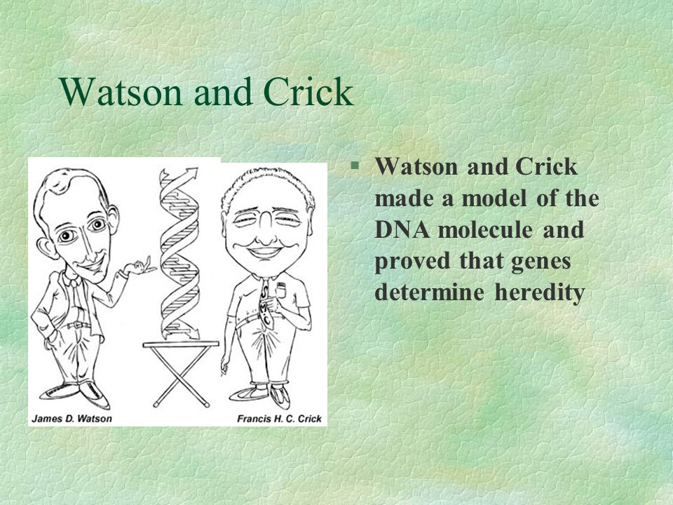 Watson and Crick Watson and Crick made a model of the DNA molecule and proved that genes determine heredity.