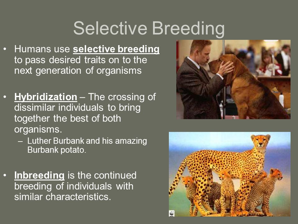 Selective Breeding Humans use selective breeding to pass desired traits on to the next generation of organisms.
