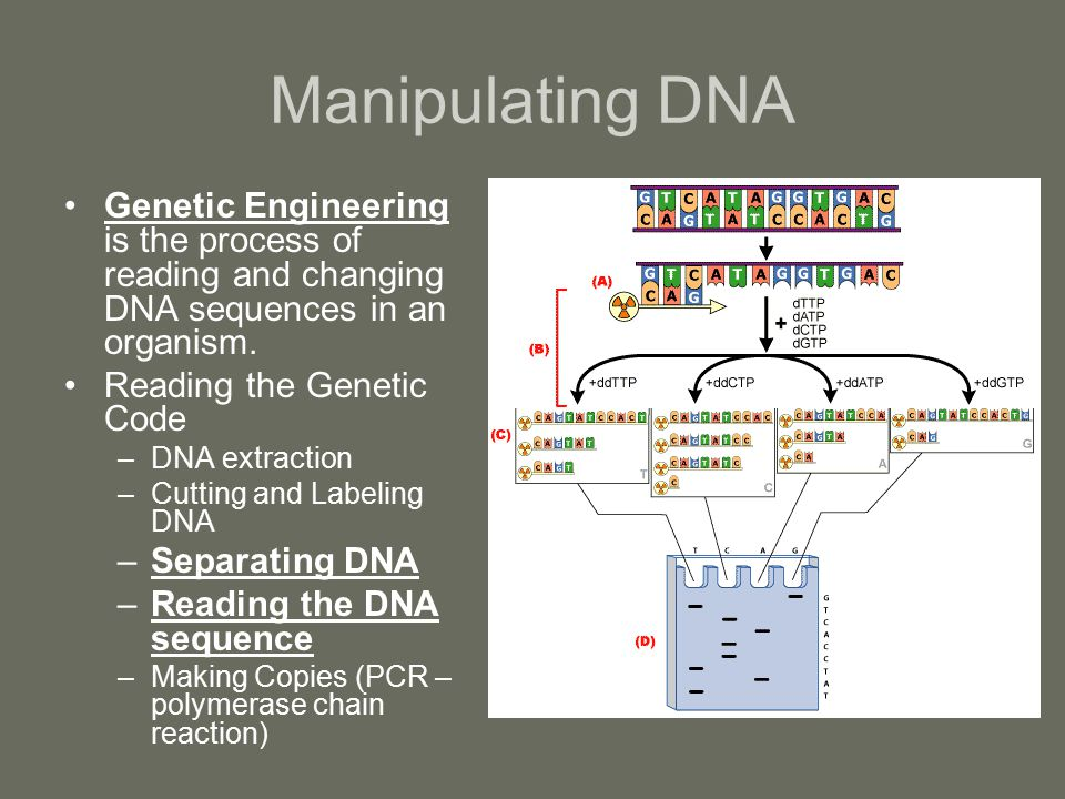 Manipulating DNA Genetic Engineering is the process of reading and changing DNA sequences in an organism.