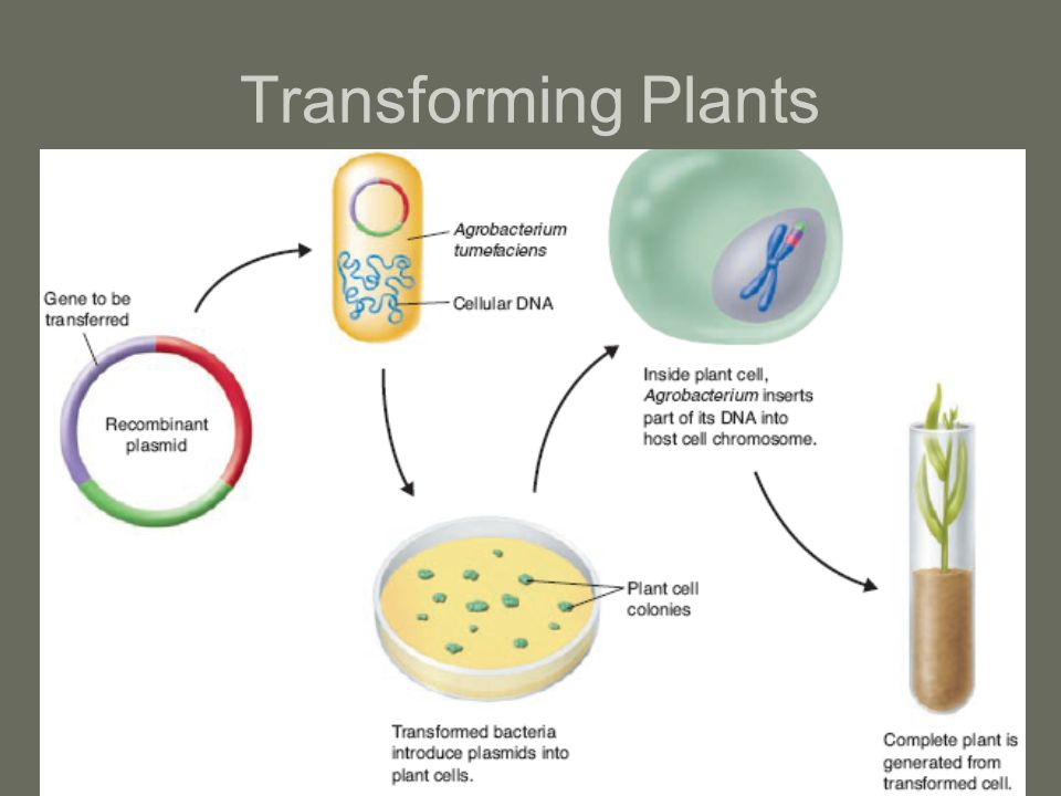 Transforming Plants
