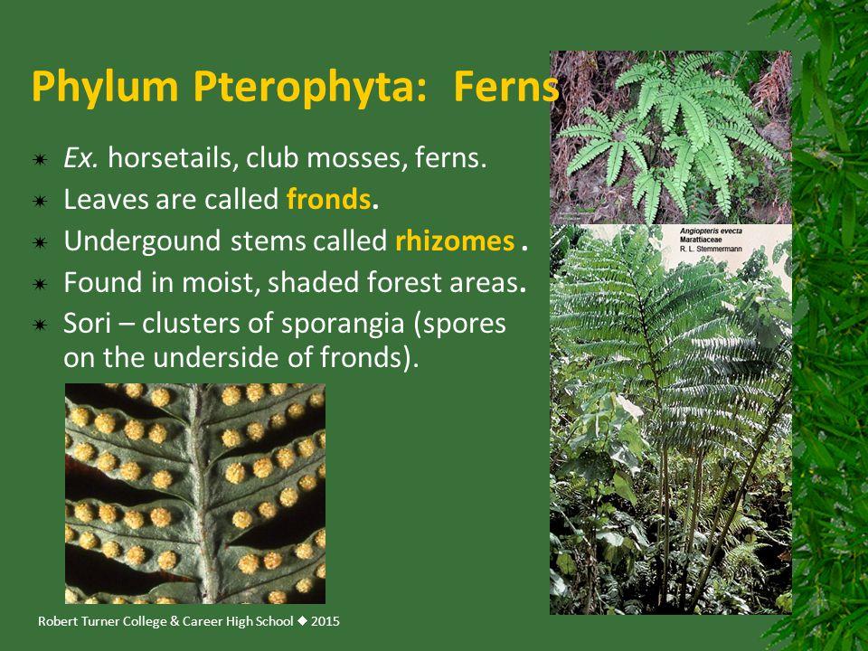 Phylum Pterophyta: Ferns