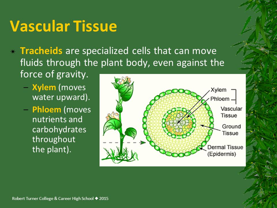 Vascular Tissue Tracheids are specialized cells that can move fluids through the plant body, even against the force of gravity.