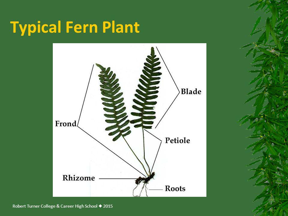 Typical Fern Plant