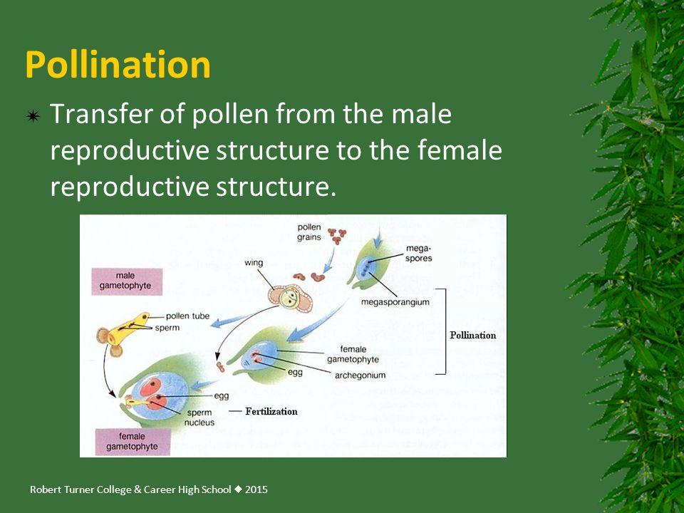 Pollination Transfer of pollen from the male reproductive structure to the female reproductive structure.