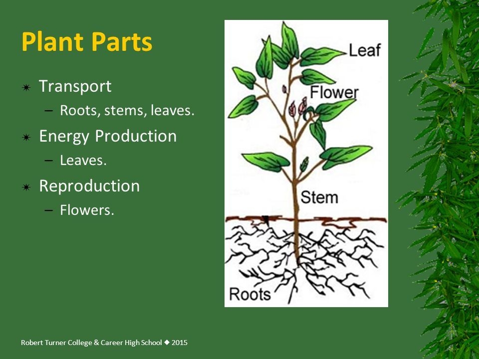 Plant Parts Transport Energy Production Reproduction