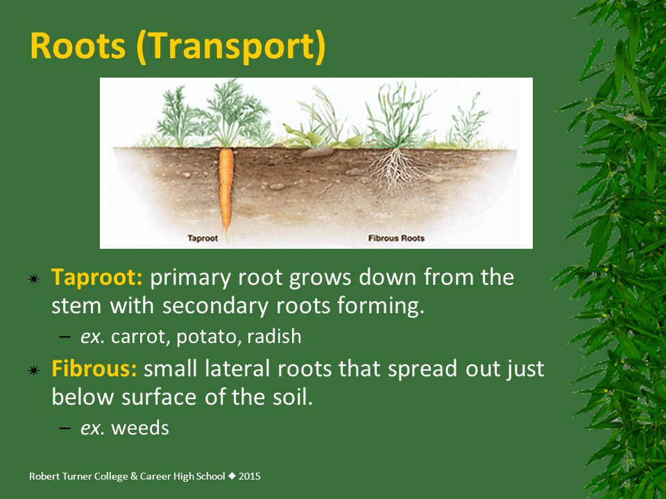 Roots (Transport) Taproot: primary root grows down from the stem with secondary roots forming. ex. carrot, potato, radish.