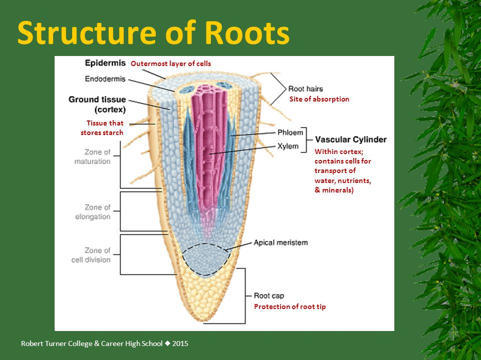 Structure of Roots Outermost layer of cells Site of absorption