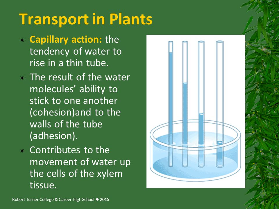 Transport in Plants Capillary action: the tendency of water to rise in a thin tube.