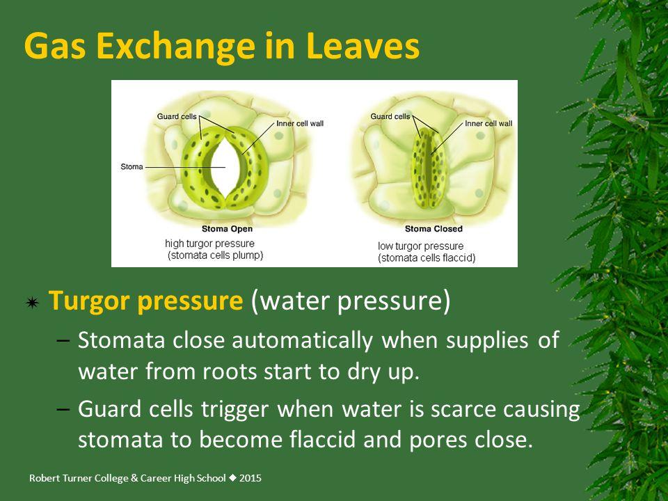 Gas Exchange in Leaves Turgor pressure (water pressure)