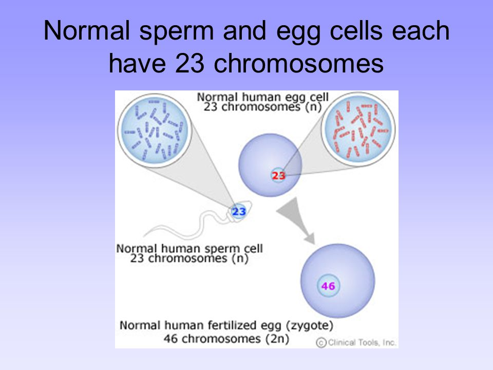 Normal sperm and egg cells each have 23 chromosomes