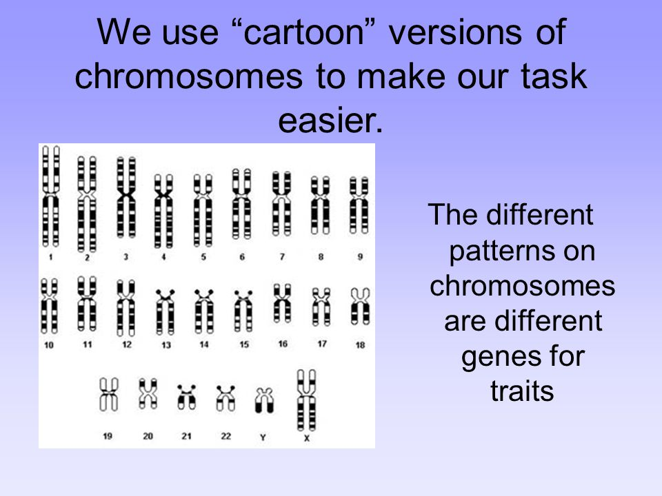 We use cartoon versions of chromosomes to make our task easier.