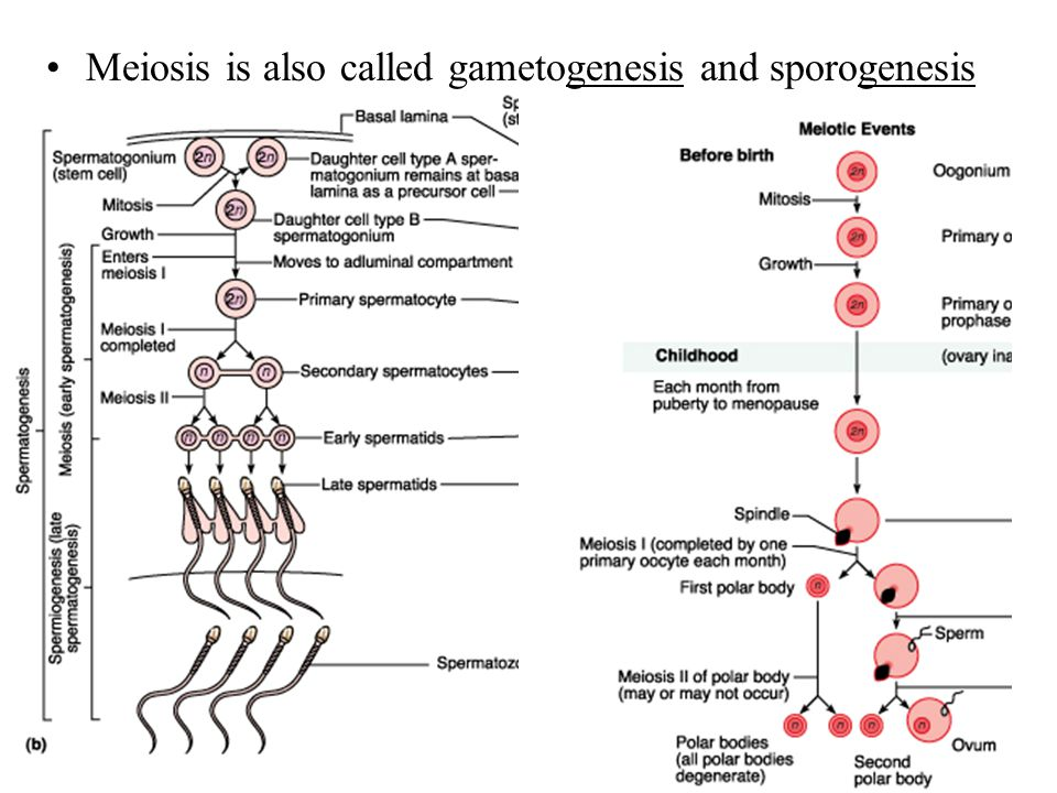 Meiosis is also called gametogenesis and sporogenesis