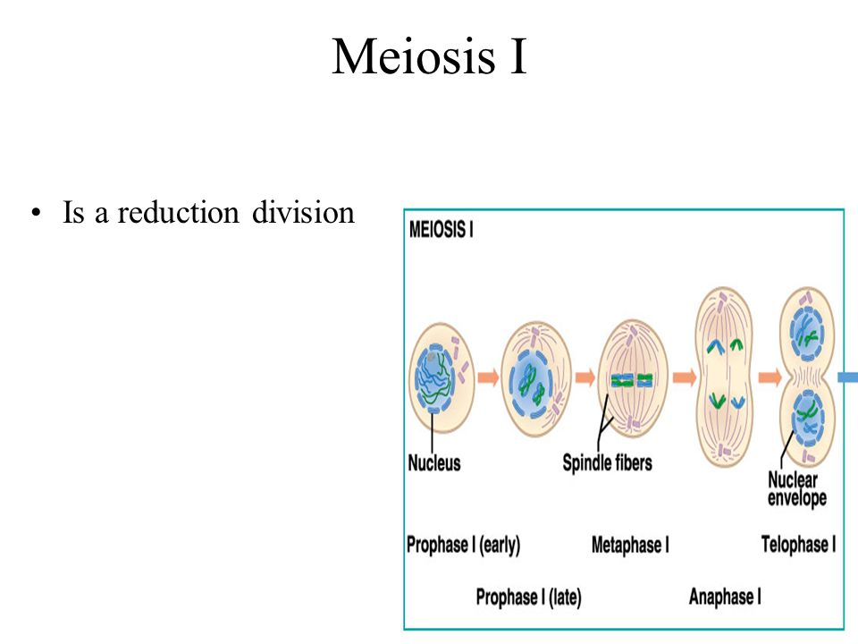 Meiosis I Is a reduction division
