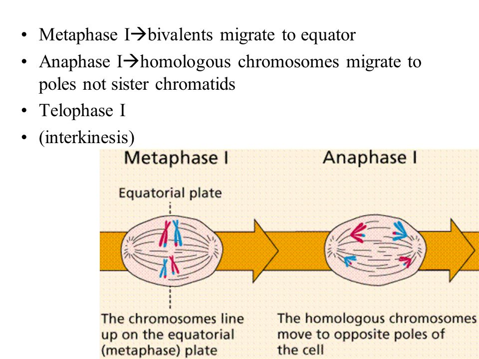 Metaphase Ibivalents migrate to equator