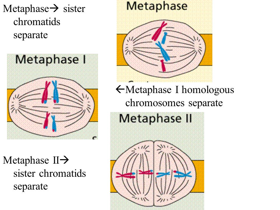 Metaphase sister chromatids separate