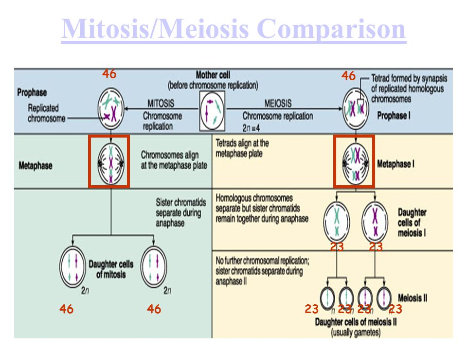 Mitosis/Meiosis Comparison