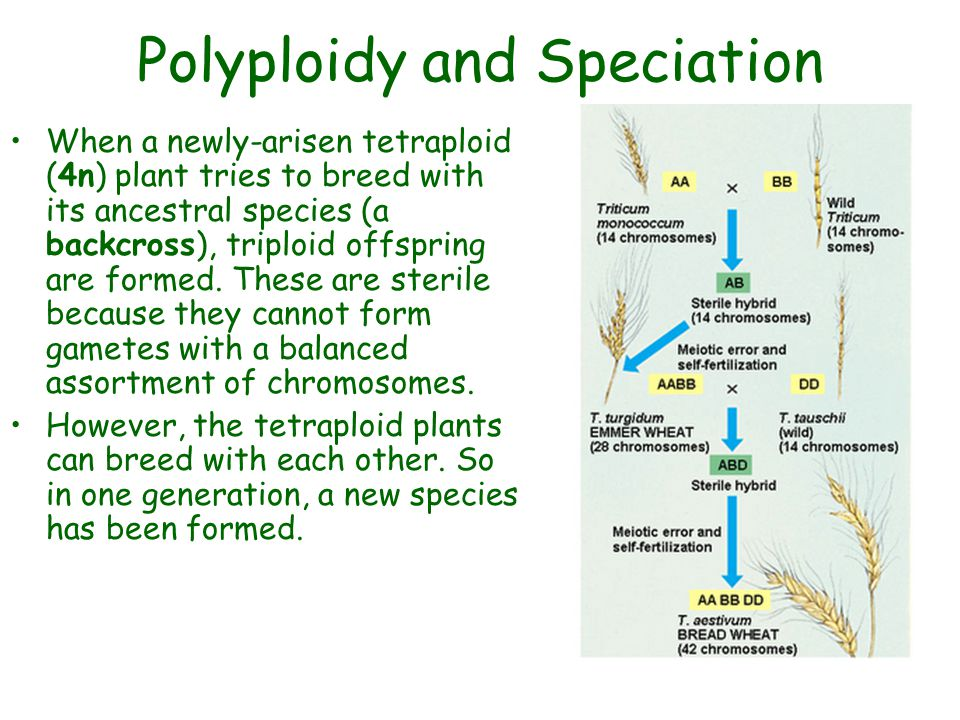 Polyploidy and Speciation