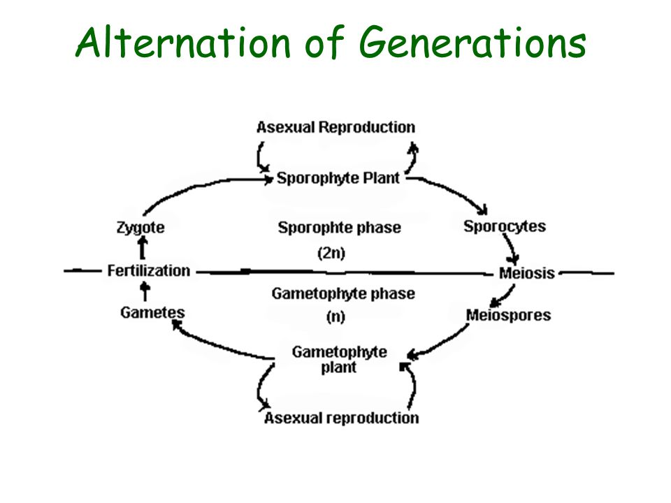 alternation of generations in plants and fungi relationship