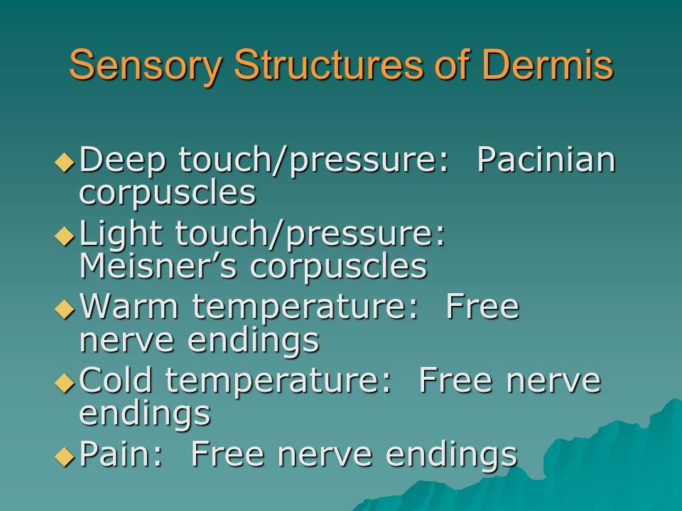 Sensory Structures of Dermis