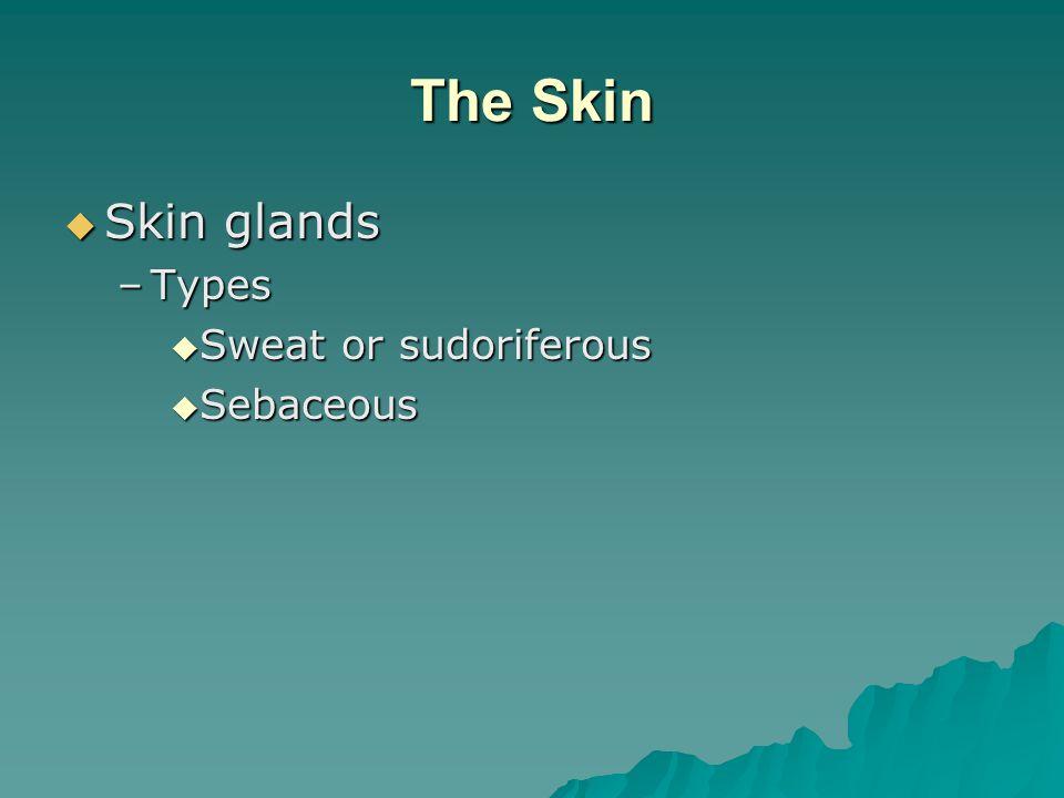 The Skin Skin glands Types Sweat or sudoriferous Sebaceous