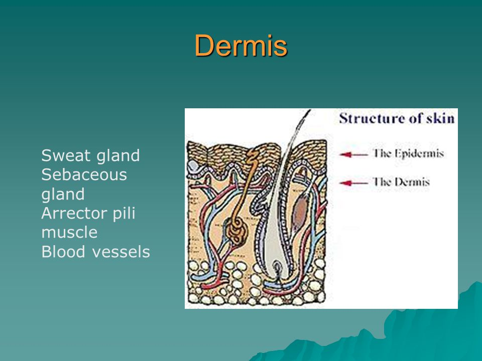 Dermis Sweat gland Sebaceous gland Arrector pili muscle Blood vessels
