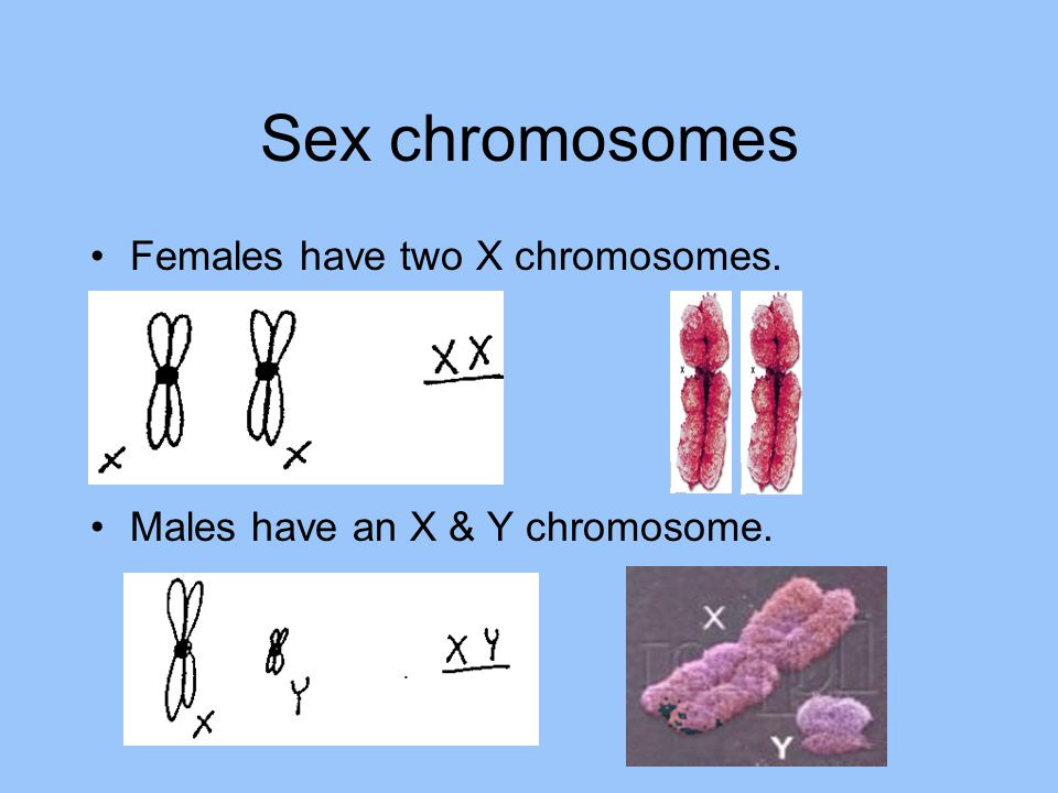 Sex chromosomes Females have two X chromosomes.