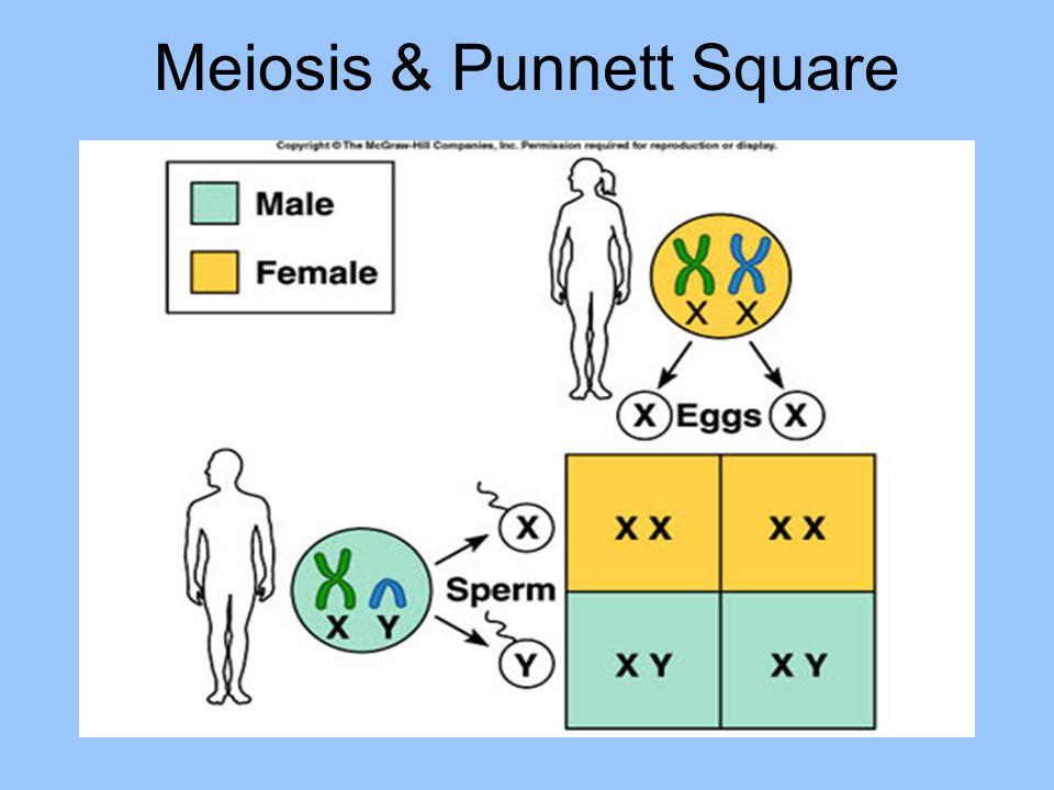 Meiosis & Punnett Square