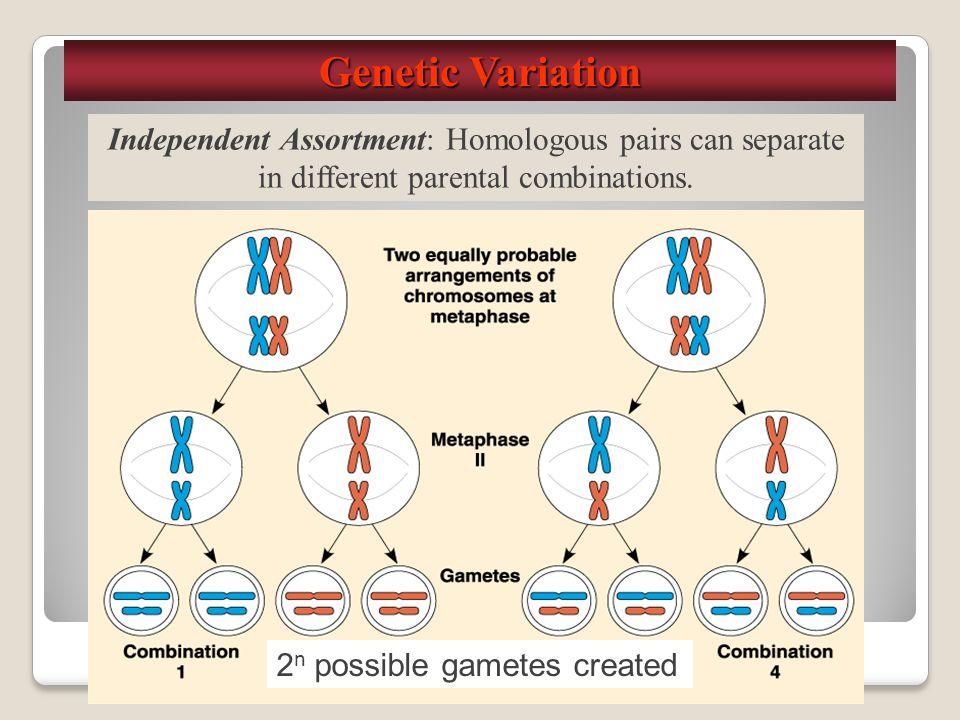 Genetic Variation Independent Assortment: Homologous pairs can separate in different parental combinations.
