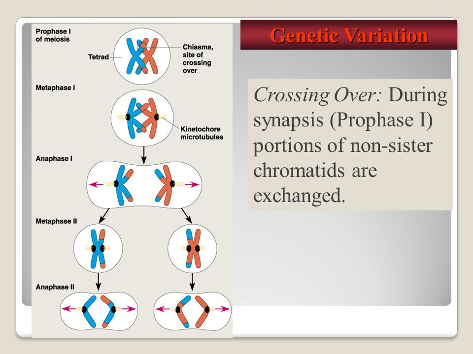 Genetic Variation Crossing Over: During synapsis (Prophase I) portions of non-sister chromatids are exchanged.