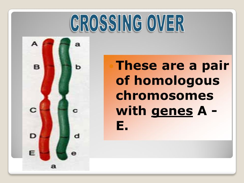 These are a pair of homologous chromosomes with genes A - E.