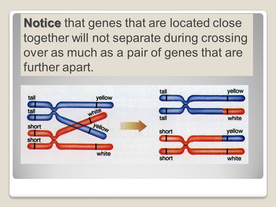 Notice that genes that are located close together will not separate during crossing over as much as a pair of genes that are further apart.