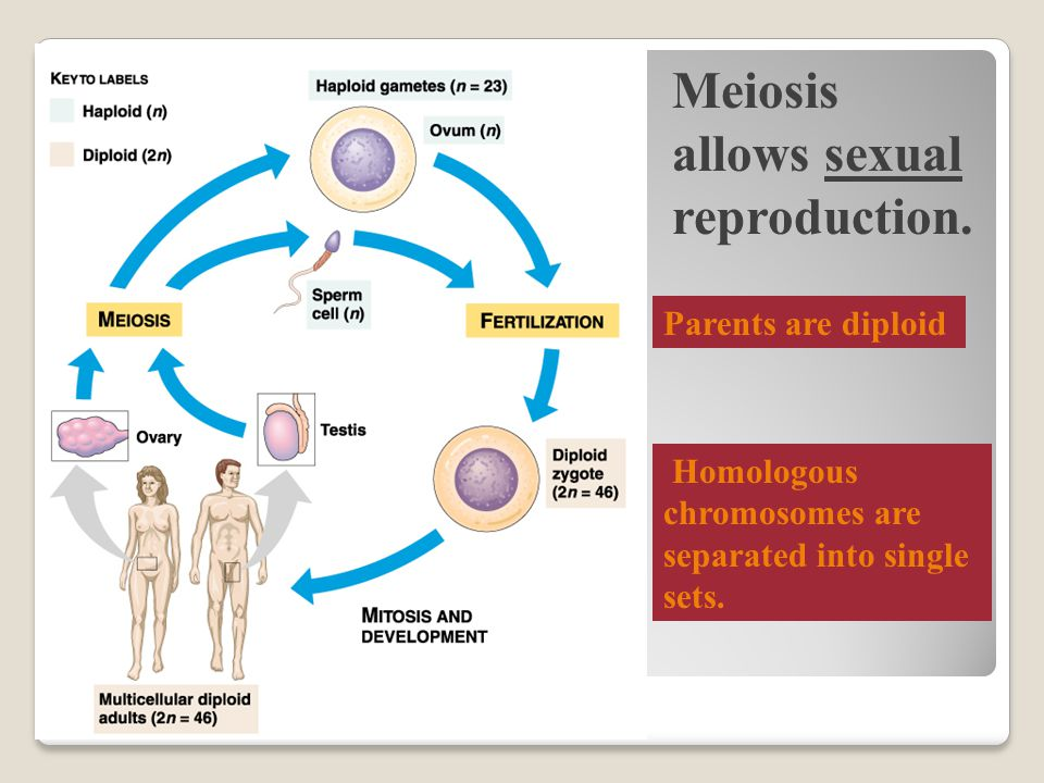 Meiosis allows sexual reproduction.