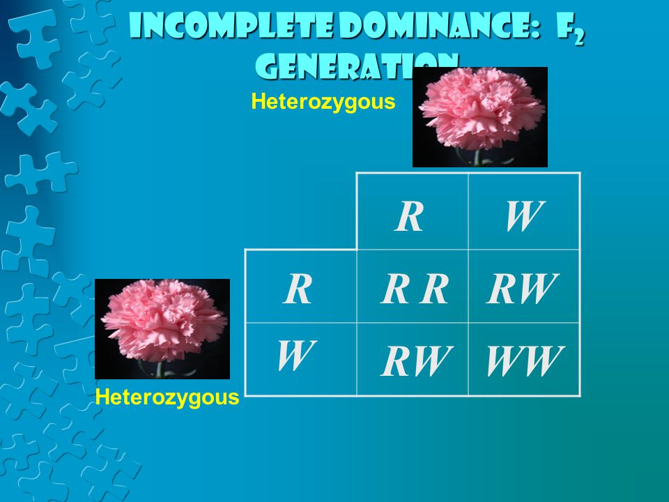 Incomplete dominance: F2 generation