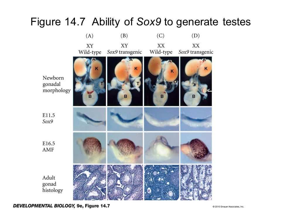 Figure 14.7 Ability of Sox9 to generate testes