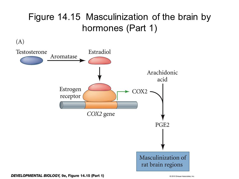 Figure 14.15 Masculinization of the brain by hormones (Part 1)