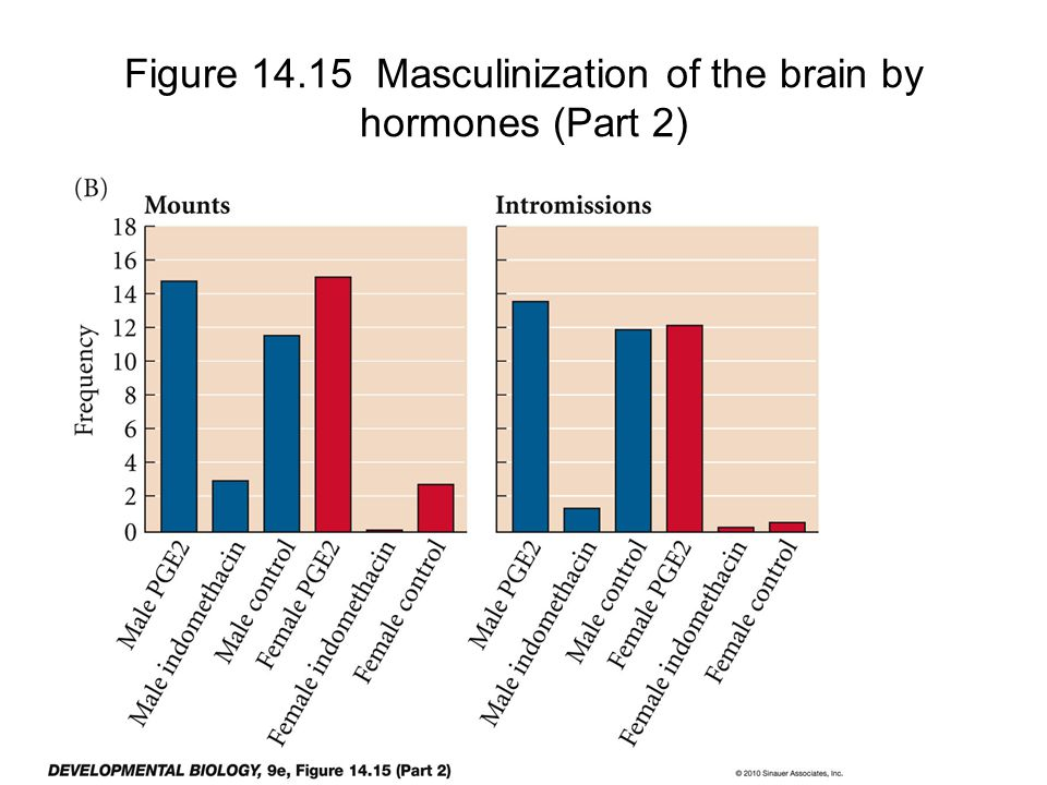 Figure 14.15 Masculinization of the brain by hormones (Part 2)